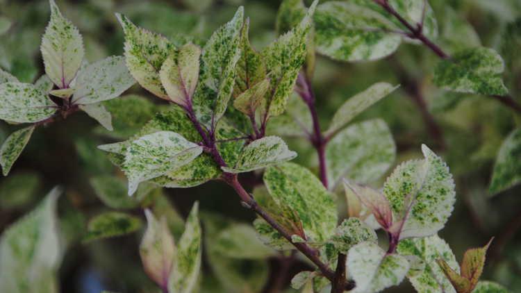 Callicarpa japonica 'Shiji Murasaki'