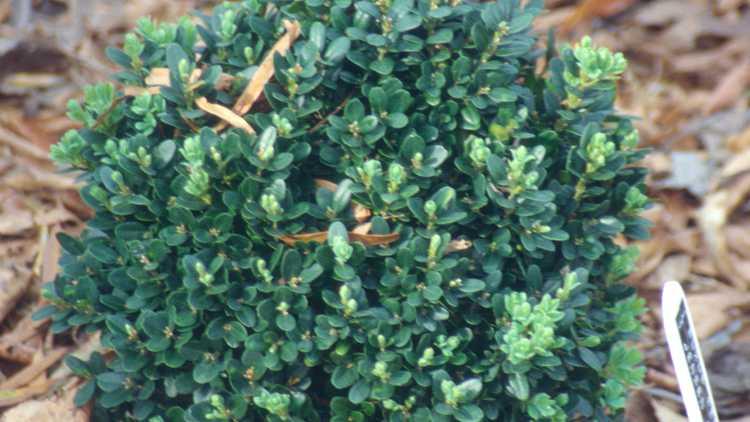 Buxus sempervirens 'Jensen'