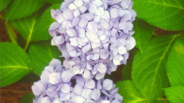 Hydrangea macrophylla 'Penny Mac'