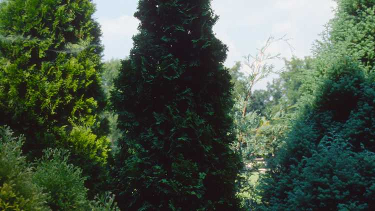Thuja occidentalis 'Degroot's Spire'