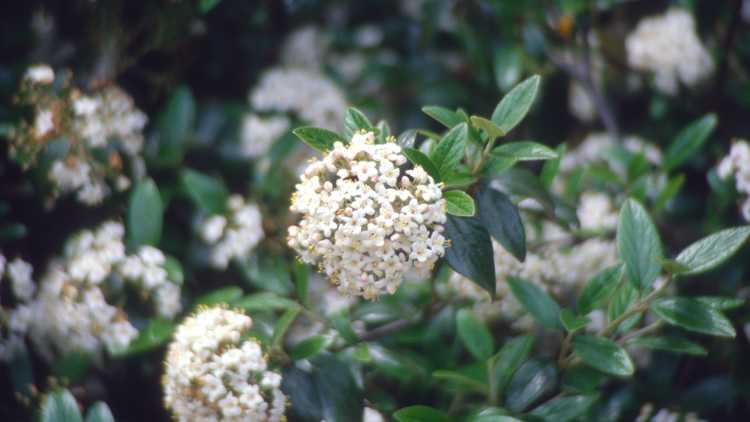 Viburnum ×burkwoodii 'Conoy'