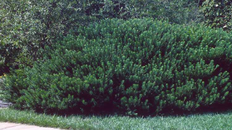 Cephalotaxus harringtonia 'Duke Gardens'