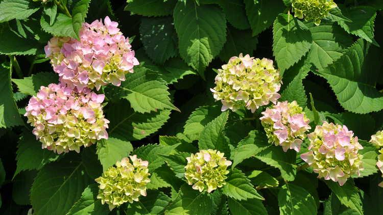 Hydrangea macrophylla 'Bailmer'