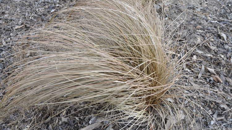 Carex laxiculmus 'Hobb'