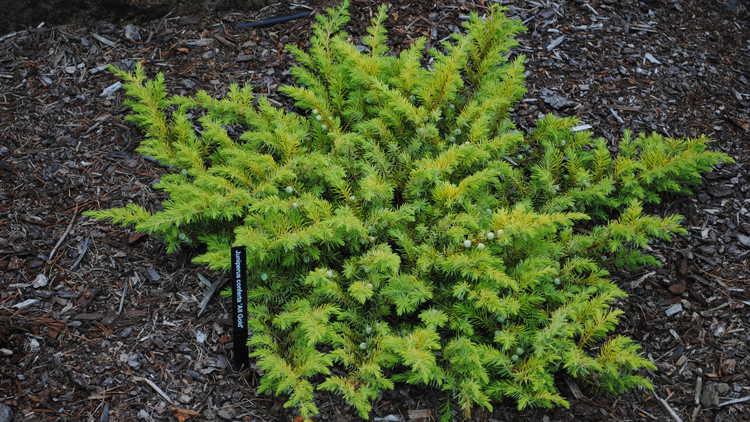 Juniperus conferta 'Spg-3-016'