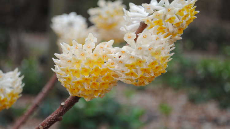 Edgeworthia chrysantha 'Snow Cream'