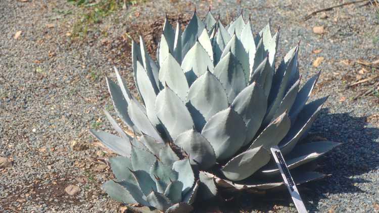 Agave parryi subsp. parryi var. truncata