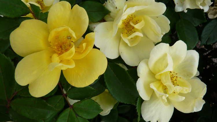 Rosa 'Radsunny'