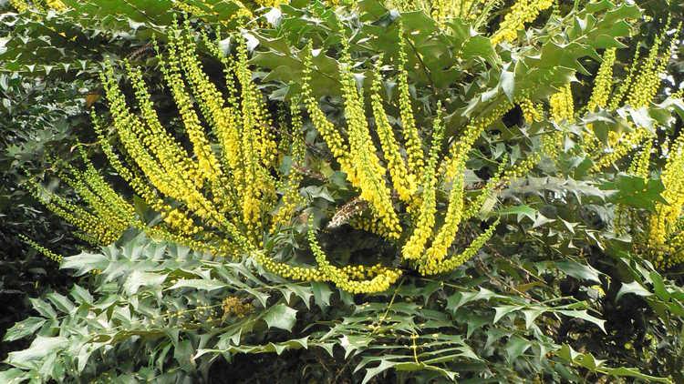 Mahonia ×media 'Buckland'