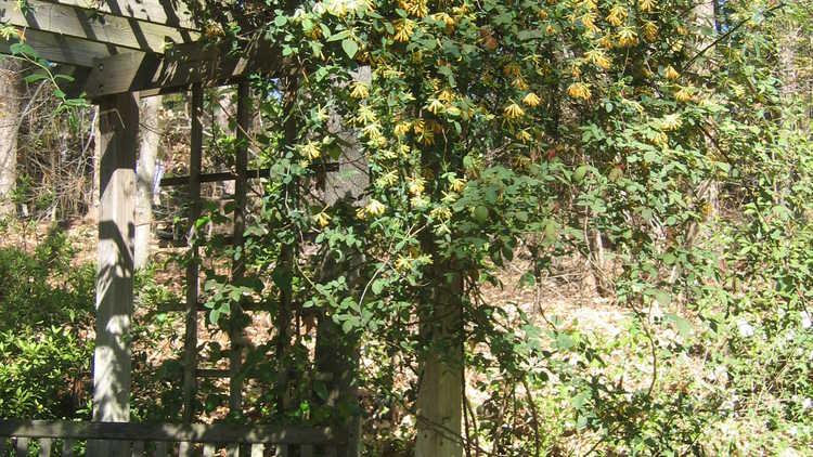 Lonicera ×heckrottii 'Gold Flame'