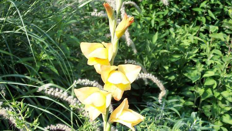 Gladiolus ×gandavensis 'Boone'