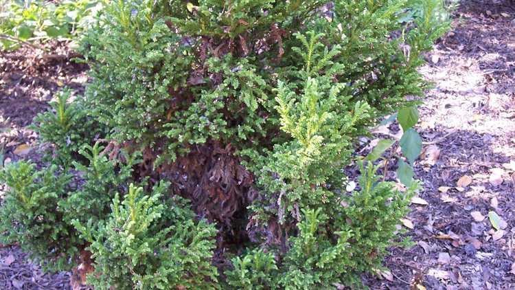 Cryptomeria japonica 'Nana'