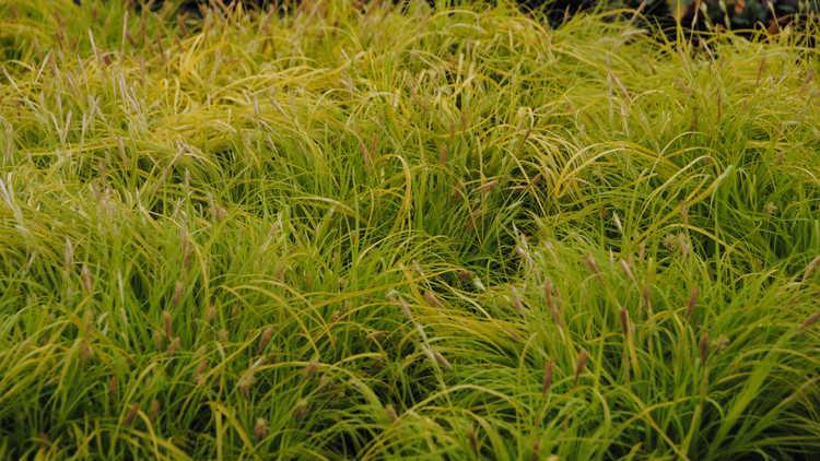 Carex oshimensis 'Everillo'