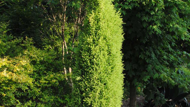 Juniperus communis 'Gold Totem Pole'
