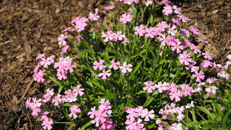 Silene caroliniana subsp. wherryi 'Short and Sweet'