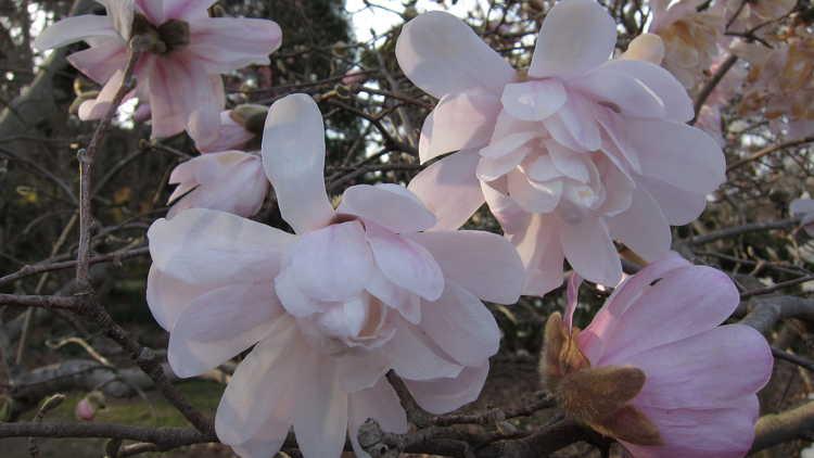 Magnolia stellata 'Waterlily'