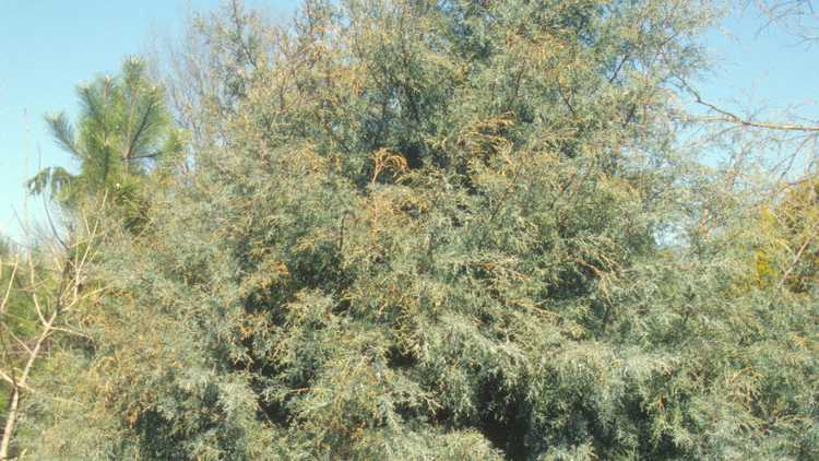 Cupressus arizonica 'Carolina Sapphire'