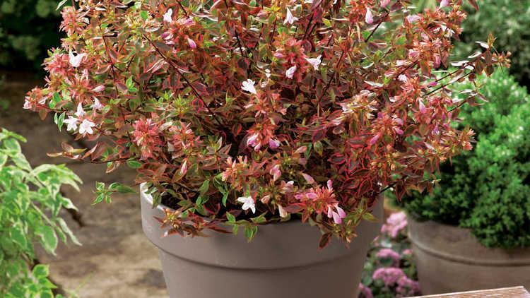 Abelia ×grandiflora 'Abelops'