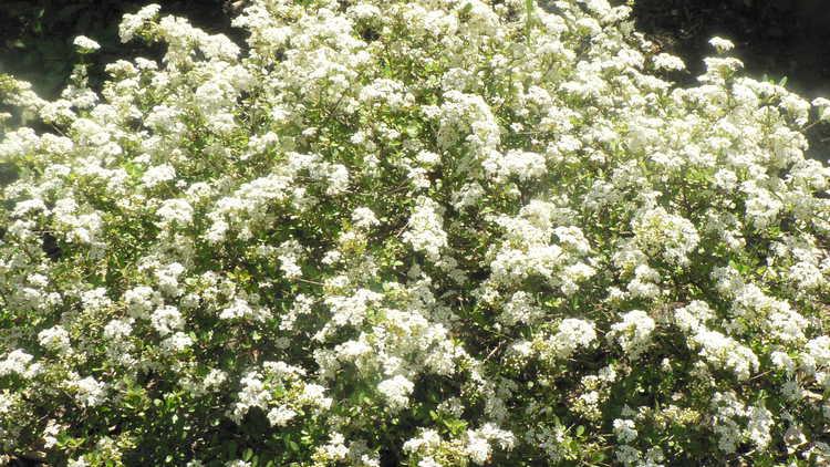 Viburnum obovatum 'Raulston Hardy'