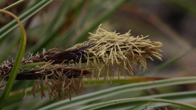 Carex oshimensis 'Carfit01'