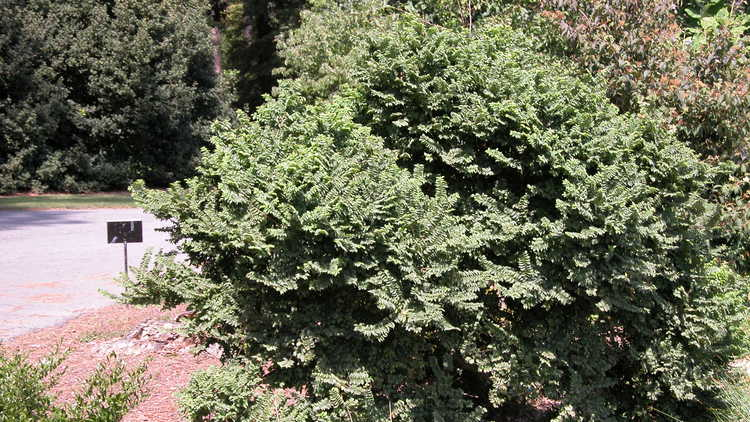 Ulmus ×hollandica 'Jacqueline Hillier'