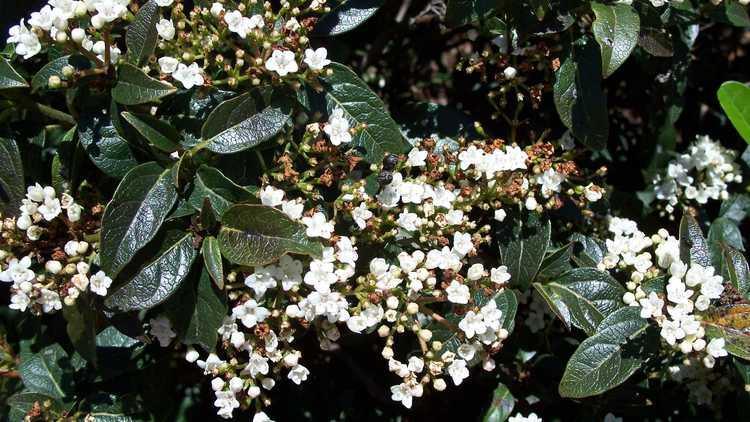 Viburnum tinus 'Compactum'