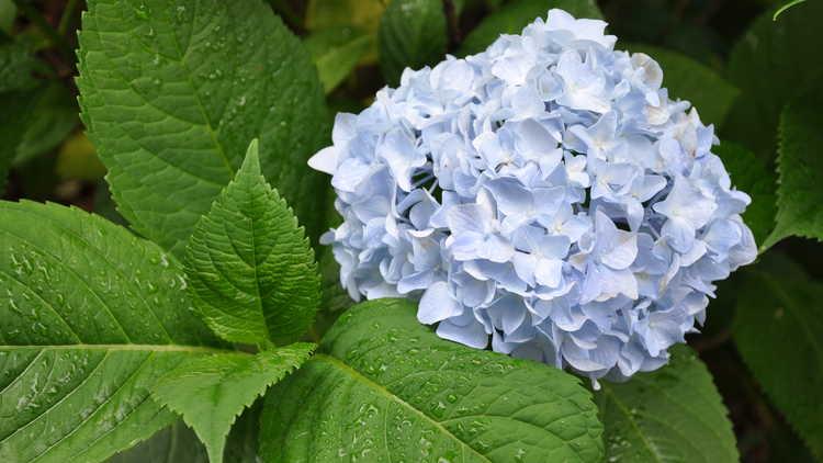 Hydrangea macrophylla 'Blushing Bride'