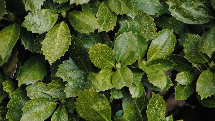 Aucuba japonica 'Shilpot'
