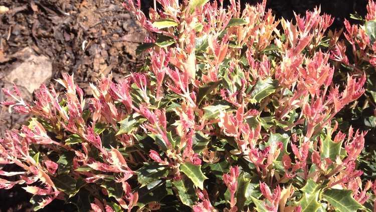 Osmanthus heterophyllus 'Shien'