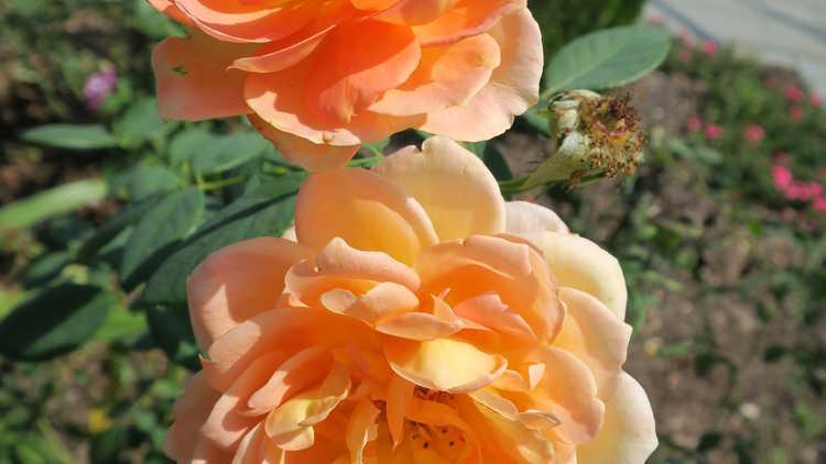 Rosa 'Ausnyson'