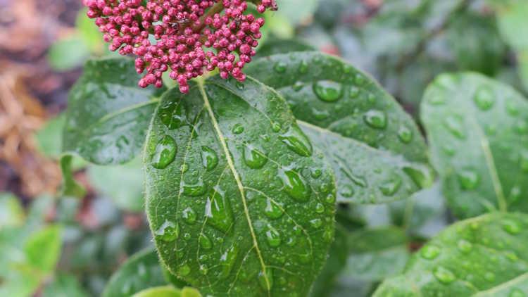 Viburnum tinus 'Lisa Rosa'