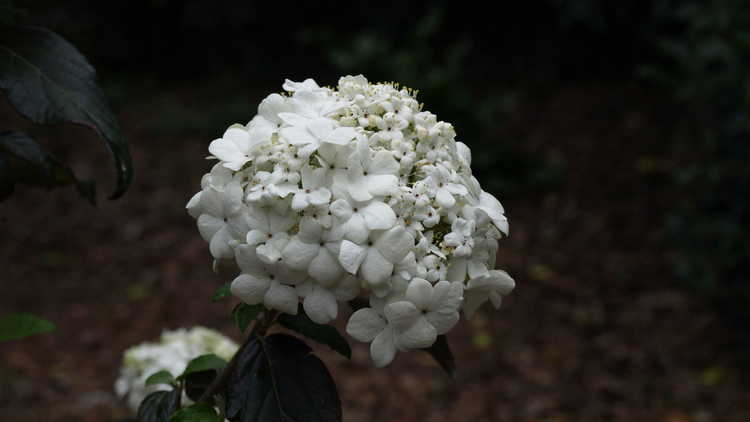 Viburnum 'Nantucket'