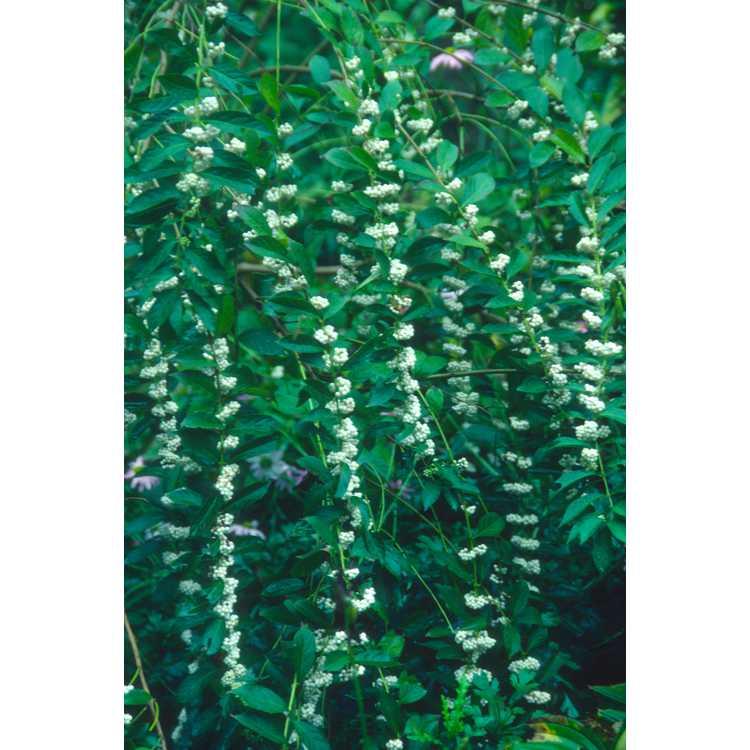 Callicarpa dichotoma f. albifructa - white beautyberry