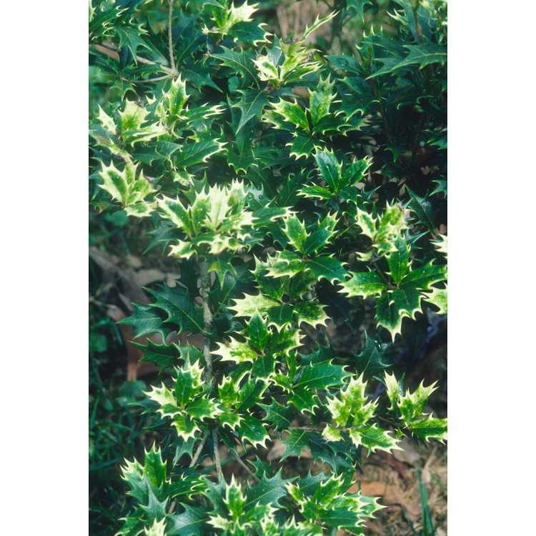 Osmanthus heterophyllus 'Akebono' - white-tip holly tea-olive