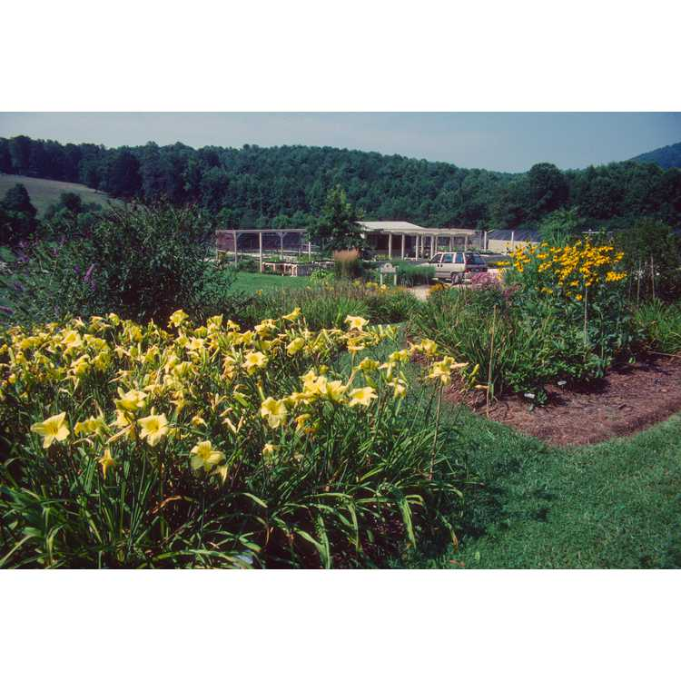 Hemerocallis - daylily