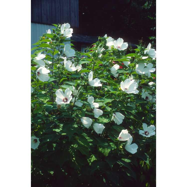 Hibiscus - mallow
