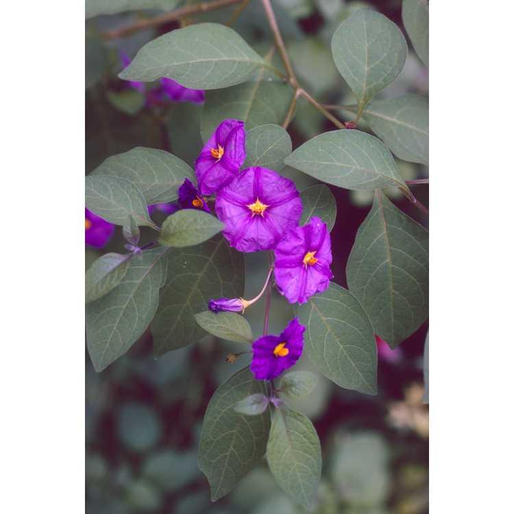 Solanum rantonnetii - blue potato vine