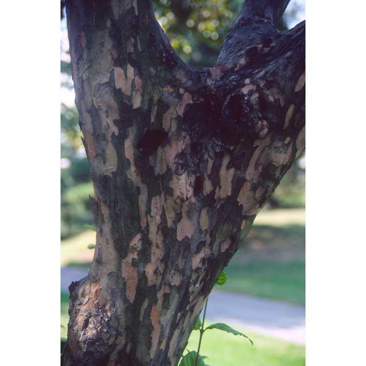 Cornus mas - Cornelian cherry