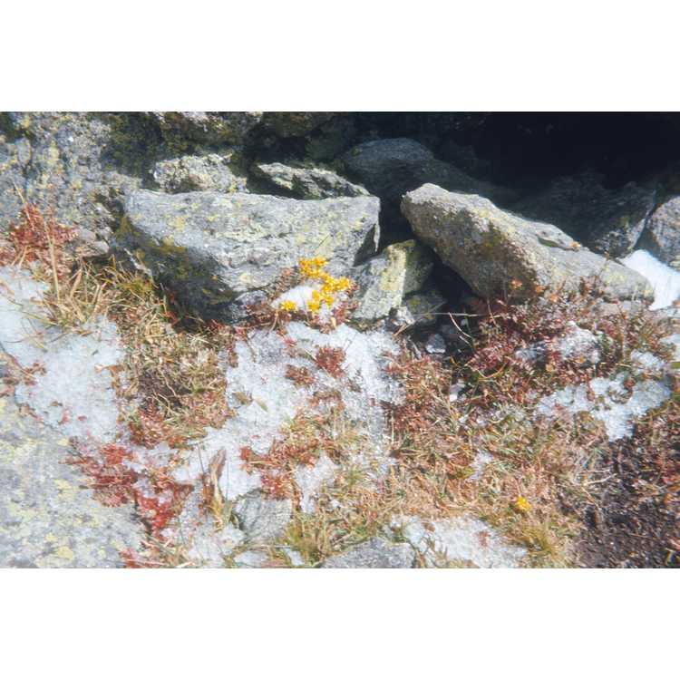 Sedum lanceolatum - lance-leaved stonecrop