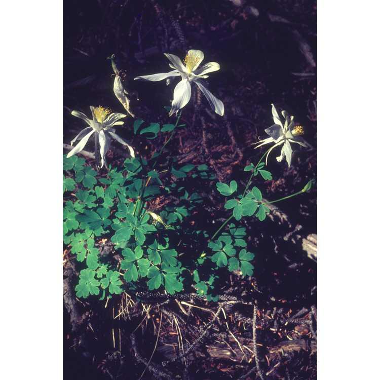 Aquilegia caerulea - Rocky Mountain columbine
