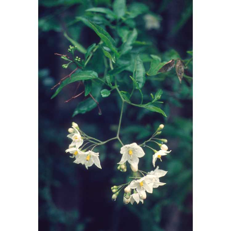 Solanum laxum 'Album' - white potato vine