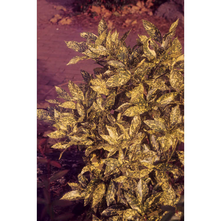Aucuba japonica (contorted variegated)