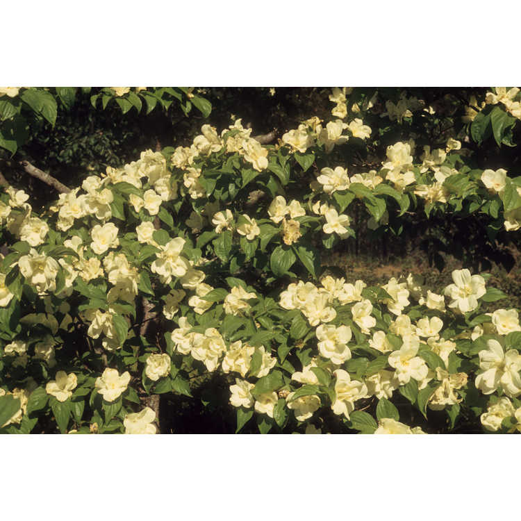 Cornus florida 'Pluribracteata' - double flowering dogwood