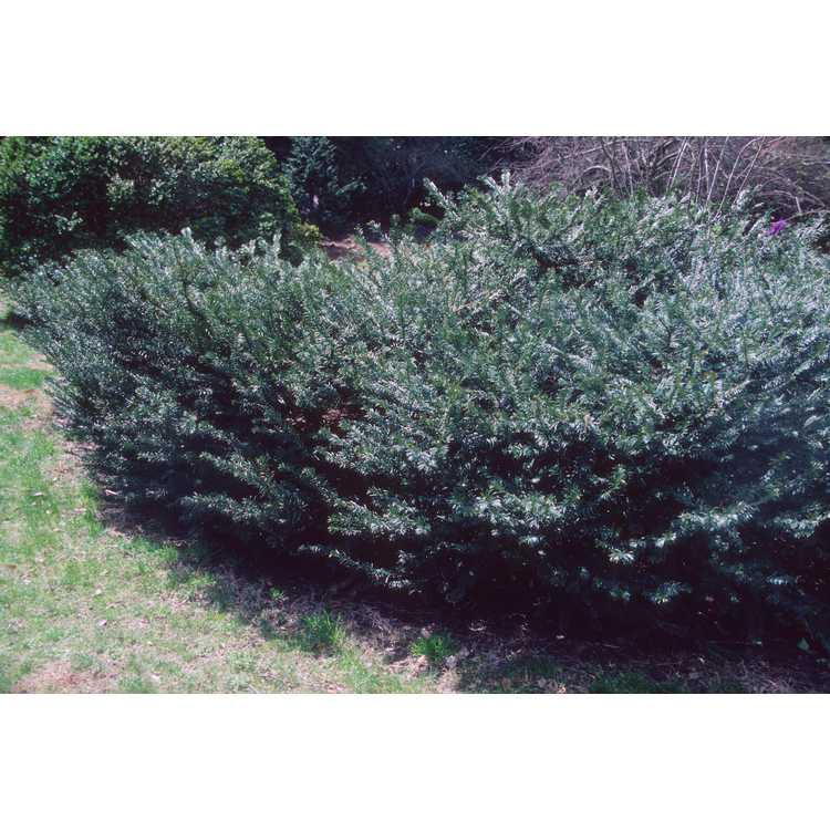 Cephalotaxus - plum-yew