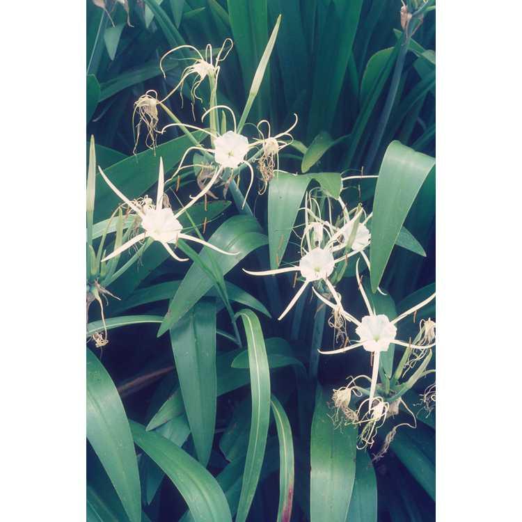 Hymenocallis - spider lily
