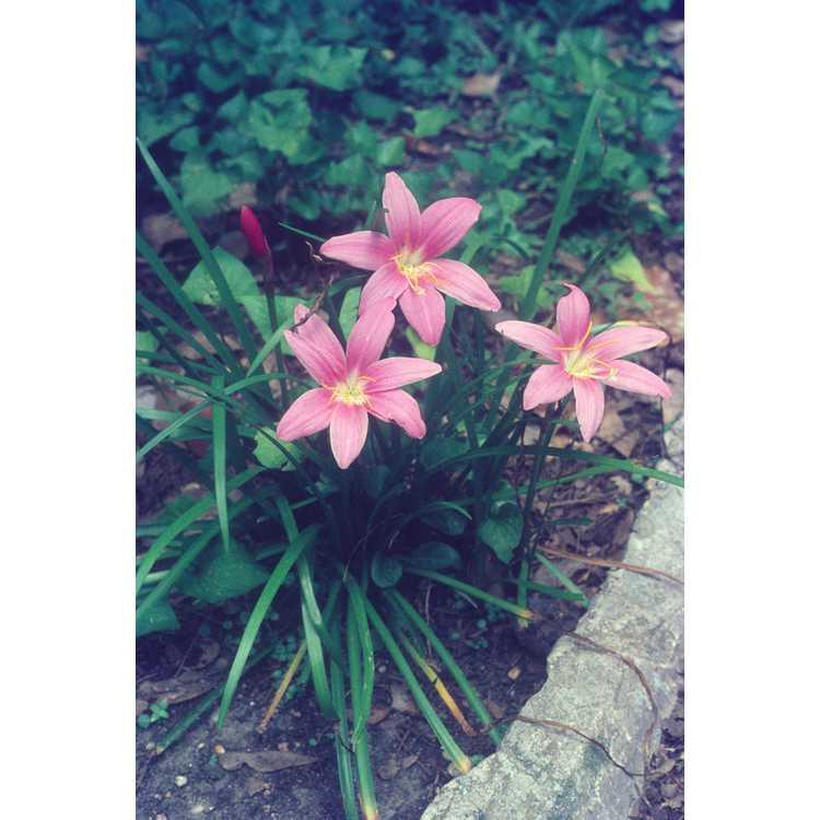 Zephyranthes grandiflora - rosepink rain-lily