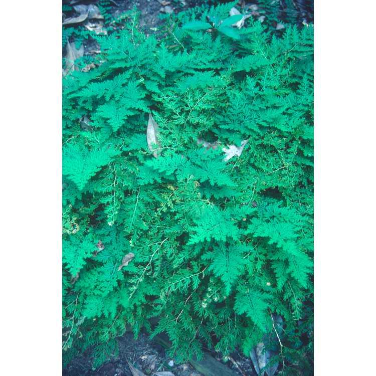 Selaginella braunii