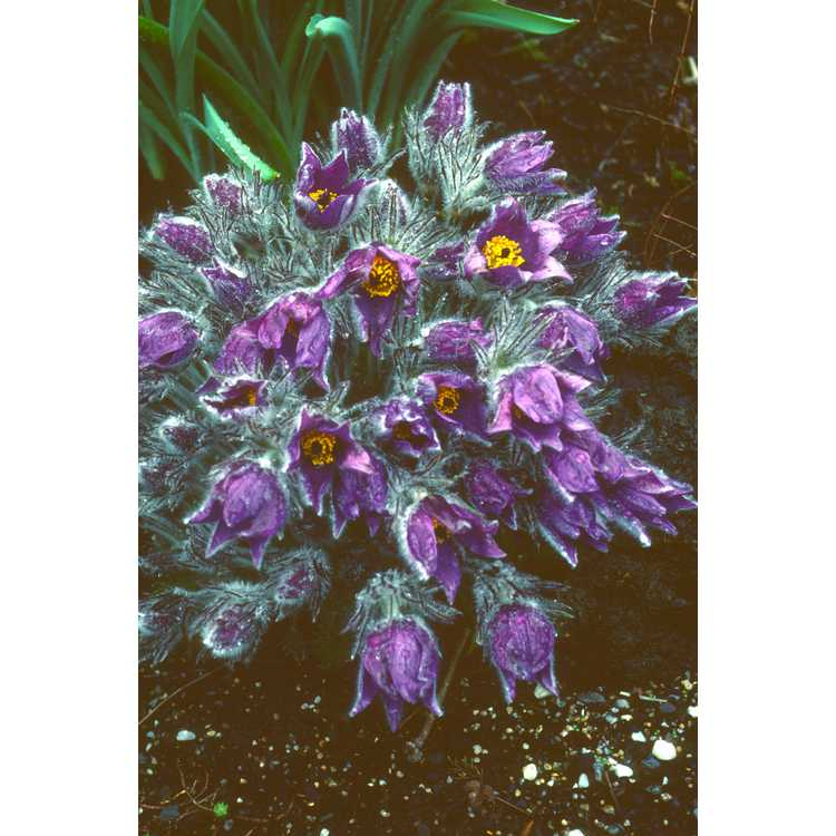 Pulsatilla vulgaris - pasque flower