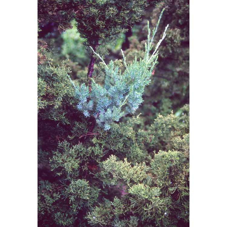 Juniperus chinensis 'Kaizuka' - Hollywood juniper