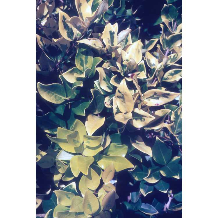 Ligustrum japonicum - Japanese privet